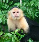 cute and adorable capuchin monkeys are ready for their new homes