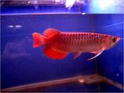 Nice Quality super red arowana for sale