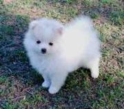 Pomeranian puppies for Re Homing
