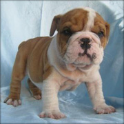 English Bulldog puppies ready for new homes