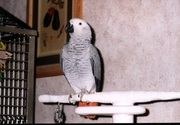Super Friendly Female African Grey Parrot For Adoption
